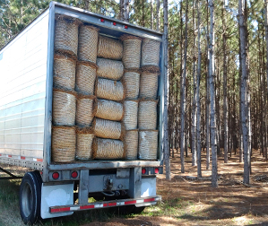 Wholesale Pine Straw